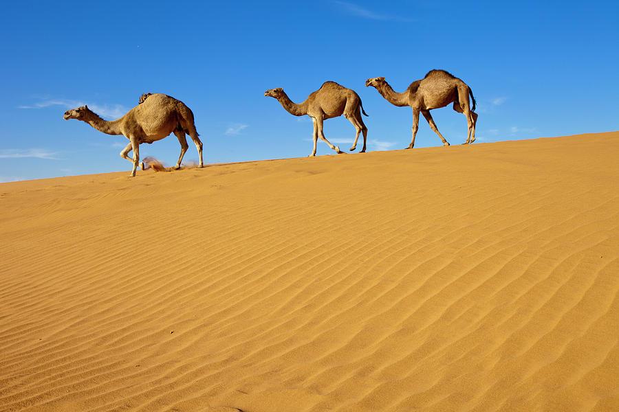 Camels wanking on Sand Dunes Saudi desert.