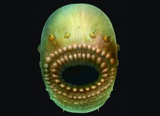 Saccorhytus coronarius artistic representation based on the fossil.