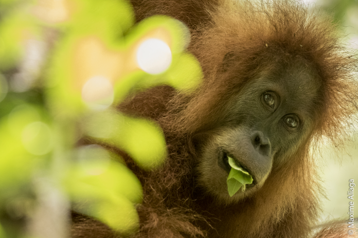 Newly Discovered Frizzy Orangutans in Indonesia Are Already in Danger of Extinction