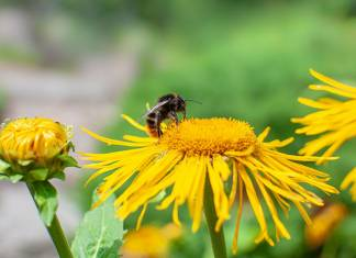 Steep Decline in Bumblebee Populations Due to Climate Change