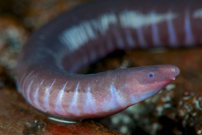 Neither Worm Nor Snake, Caecilians Have Mouths That Can Deliver Venomous Bites
