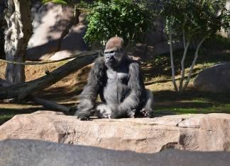 Orangutans, Bonobos, and Gorillas in San Diego Zoo Given Experimental COVID-19 Vaccine