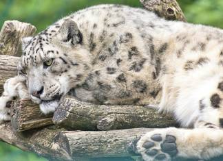Snow Leopard at San Diego Zoo Contracts COVID-19; Habitat Closed to Visitors